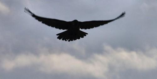 raven-flying