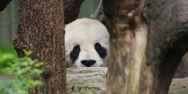 panda-staring